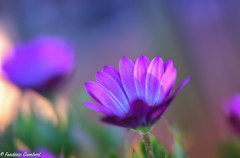 Pink Morning of Light (frederic.gombert) Tags: flower flowers bloom blossom spring light color pink blue green daisy macro nikon