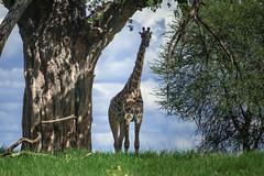 DSC_1840.jpg (lamydude) Tags: safari giraffe tarangire tanzania