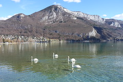 Swans @ Parc Charles Bosson @ Annecy (*_*) Tags: 2019 hiver winter march europe france hautesavoie 74 annecy savoie animal bird swan cygne lac lake parccharlesbosson park sunny lakeannecy lacdannecy