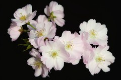 The beauty of life (frankvanroon) Tags: thebeautyoflife blossom spring flowers flora floral pink