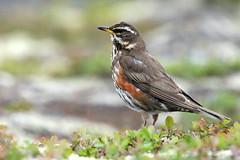 Redwing-7D2_7272-001 (cherrytree54) Tags: redwing bird canon sigma 7d 150600 iceland gullfoss