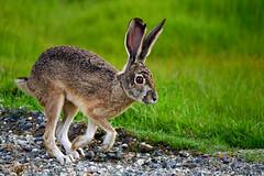 Br'erRabbit_01 (DonBantumPhotography.com) Tags: wildlife nature birds animals brerrabbit hare rabbit bunny donbantumphotographycom donbantumcom