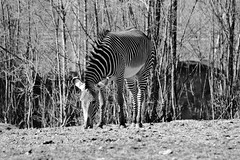 Zebra 03 (RichKD) Tags: detroit zoo winter animals nature canon 5d eos black white light dark shadow baw bw zebra