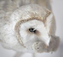 (PlainJK) Tags: barn owl prey mouse
