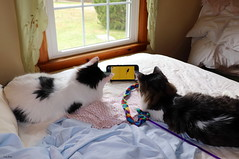 How Indoor Cats Hunt Mice!  :) (Lisa Zins) Tags: feline cat petsandanimals pets animals lisazins bed sheets together brothers cell phone watching catswatchingvideo catswatchingmouseoncellphone watchingvideos funny funnyanimalphotos comedians happycaturday march30