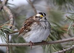 White-Throated Sparrow (kearneyjoe) Tags: whitethroatedsparrow amherstpointmigratorybirdsanctuary