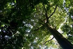 Smokey's 75th . . . (ericrstoner) Tags: tree árvore flonatapajós tapajósnationalforest smokeybear wildfire fire forestfire nationalforest flona florestanacional tapajós santarém belterra pará smokey fogo prevfogo rainforest tropicalrainforest amazon amazônia