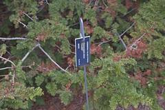 Chamaecyparis obtusa 'Filicoides', 2019 photo (F. D. Richards) Tags: harpercollectionofraredwarfconifers hiddenlakegardens tiptonmi hrh bedh michigan usa
