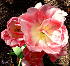 Tulip Time (Lynn English) Tags: tulips garden pot pinkribbet