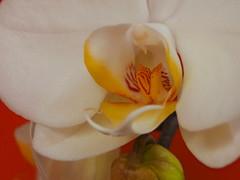 orchid (oneofmanybills) Tags: orchid flower macro orange yellow olympus summer white manual miranda