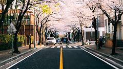 鎮海。桜 (stanley yuu) Tags: korea busan jinhae cherryblossoms people city dog 韓國 鎮海 釜山 人 櫻花 狗 城市 チネ 桜 町 犬