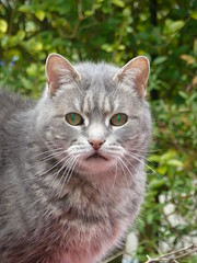 Cat (The Chairman 8) Tags: cat queensbury feline fur eyes pupils gray grey ears nose whiskers garden mouth privet green hedge goldenprivet pink leaves body head yorkshire england 2019
