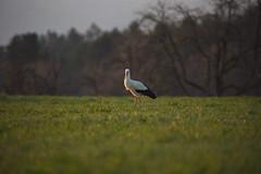 DSC_3439 (d90-fan) Tags: storch schwarzwald calw 2019 frühling wiese natur vogel zugvogel nordschwarzwald nikon d750 nikond750