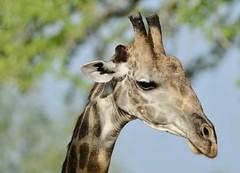 Giraffe (rob kite) Tags: marchantrobert africa tanzania selous giraffe