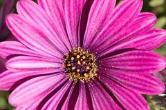 IMG_1019 Macro (Fernando Sa Rapita) Tags: baleares canon canoneos eos1300d mallorca sarapita sigma sigma105mm sigmalens macro naturaleza nature flower flor