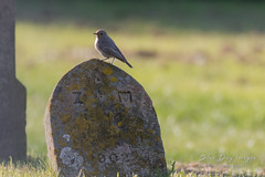 Black Redstart (Blue Dog Images) Tags: blackredstart canon norfolk churchyard
