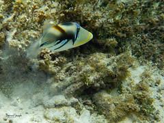Baliste picasso / Rhinecanthus aculeatus (paspeya007) Tags: archipel archipelago arrivéepaisible atoll corail frenchpolynesia lagon lagoon pacific pacifique palisser paradis paradise plage plongéetuba polynesia polynésie polynésiefrancaise sablerose snorkeling tahiti tikehau tuamotu polynésiefrançaise pf