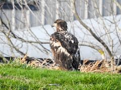 Bald Eagle (juvenile) (glenbodie) Tags: bodie catherinehurley glen glenbodie north40 reifel