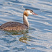 Great Crested Grebe (drbut) Tags: greatcrestedgrebe podicepscristatus water lakes grebes avian wildlife nature canonef500f4lisusm