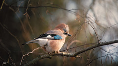 A jay, detecting some food (fotobagaluten.de) Tags: jay eichelhäher vogel bird winter wildlife nature natur