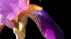 Bearded Iris (janetfo747 ~ Dreaming of Africa) Tags: flower flowers bloom colorful garden grand bright happy plant blooms