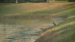 bird by the lake 1 (Ricardo's Photography (Thanks to all the fans!!!)) Tags: video b roll anthem park florida nature sony saintcloudfl centralflorida cinematic videolibrary freevideos 1080pvideos 1080p freefootage footage sonyvideos