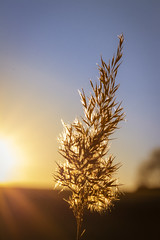Old reed (Michael Feifel) Tags: nature canon80d canon mycanonstory sky sunset sunstar reed winter wintertime bluesky goldenhour