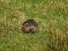 Myocastor coypus (M.L Photographie) Tags: nature wild wildlife wildlifephoto wildlifephotography france normandie normandy eure sony dschx400v animal animals mammifère ragondin nutria myocastor