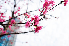 """I think this is called """"Sakura"""" (Pure Fortune) Tags: sel2870 emount sonycamera a72 a7ii sonyalpha sony sky clearsky whitesky taiwan keelung red pink flower sakura"""