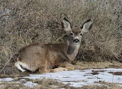 Young Mule Deer Doe (fethers1) Tags: rockymountainarsenalnwr rmanwr rmanwrwildlife coloradowildlife deer muledeer muledeerdoe