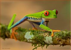 Red-eyed Tree Frog (Stan in FL) Tags: costarica redeyedtreefrog agalychnis callidryas nature nikond500 tamron 90mm macro