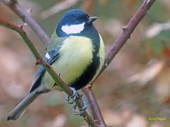 Carbonero común (Parus major) (2) (eb3alfmiguel) Tags: pájaros passeriformes insectívoros paridae carbonero común parus major