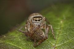 Evarcha arcuata, femelle ayant cédé à ses penchants arachnophages (unidentified species) (coteaux de Gardères) (G. Pottier) Tags: evarcha evarchaarcuata salticidae saltique jumpingspider spider spinne springspinne araneae araneomorphae araignéesauteuse d850 afsvrmicronikkor105mmf28gifed kenkoautomaticextensiontubesetdg arañasaltadora araña roncier rubus ronce biodiversité hautespyrénées gascogne occitanie arthropode vision yeux eyes œil eye prédation prédateur prey arachnida arachnide