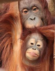 orangutan Lea and Suria Krefeld 094A0849 (j.a.kok) Tags: orangutan orangoetan orang animal asia azie aap ape mammal monkey mensaap motherandchild moederenkind zoogdier dier primate primaat lea suria krefeld