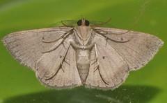 Alphitonia Moth Casbia rosacea Caberini Ennominae Geometridae Airlie Beach rainforest P1460746 (Steve & Alison1) Tags: alphitonia moth casbia rosacea caberini ennominae geometridae airlie beach rainforest