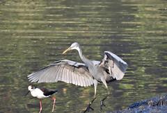 Grey Heron (Birdwatcher18) Tags: grey heron greyheron wader waterbird waterbirds wildlife water birds birder birding birdwatching birdwatcher fauna