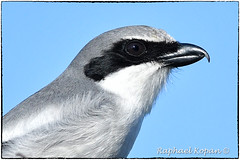 Loggerhead Shrike (RKop) Tags: florida apollobeach raphaelkopanphotography d500 600mmf4evr nikon