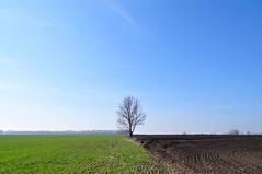 Lonely tree on the boundary strip. (ALEKSANDR RYBAK) Tags: изображения дерево поле посевы межа одинокое небо весна сезон природа погода пейзаж images tree field crops inte lonely sky spring season nature weather landscape