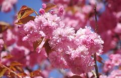 Pink! (DameBoudicca) Tags: sweden sverige schweden suecia suède svezia スウェーデン cherryblossom sakura kirschblüte 桜 japanischekirschblüte fleursdecerisier fiorediciliegio サクラ körsbärsblomma tree träd 木 baum arbre pink rosa rose ピンク flower blossom blomma blüte flor fiore fleur 花 はな spring vår frühling frühjahr primavera printemps 春 はる