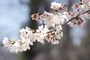 APO 100-300 で桜