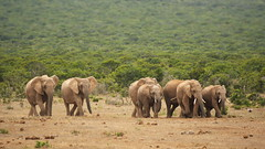 On their Way (Stefan Zwi.) Tags: southafrica südafrika addo elefanten elefant nature wildlife ngc npc
