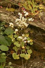 genus saxifraga images