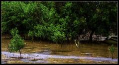 I knowyou are watching me (VERODAR) Tags: mangroveforest birds trees roots beach heron nikon verodar veronicasridar tanjungpiai natureandwildlife nationalpark