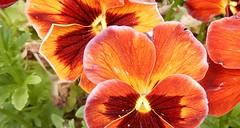 bronze pansies, cropped (Martin LaBar) Tags: southcarolina pickenscounty flower flowers pansy pansies violaceae viola