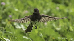 Black Phoebe (Bob Gunderson) Tags: birds blackphoebe california empidonaxflycatchers flycatchers fortmason northerncalifornia sanfrancisco sayornisnigricans