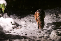 """got things to do..."" (Sue Elderberry) Tags: fox redfox urbanfox urbanwildlife urbannature animal rotfuchs zorro vulpus vixen snow night"