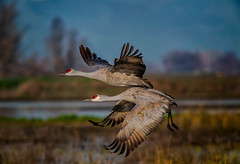 nature (pstrock1) Tags: sky morning wings wild wildlife fly nature water goldenhour wind beauty field bird sandhillcranes marsh