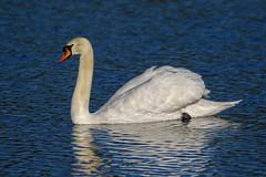 Mute Swan (Dougie Edmond) Tags: prestwick scotland unitedkingdom gb