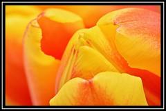 """Hooded Bud..."" (NikonShutterBug1) Tags: nikond7100 nature spe smartphotoeditor closeup macro flower flora bokeh tulip tamron60mmmacro fridayflora"