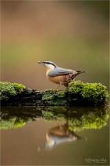 Reflection of a Nuthatch (Gertj123) Tags: animal bokeh bird reflection nature water wildlife hide holterberg arjantroost netherlands canon